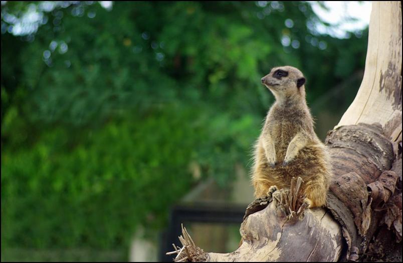 types de veille, tel un suricate surveillez constamment votre environnement avec Scope Veille Augmentée